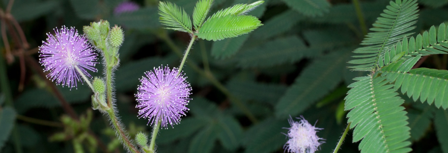 Le Mimosa Pudica