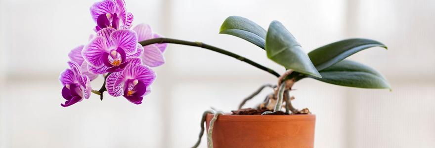 Comment refleurir une orchid e - Comment passer en floraison ...