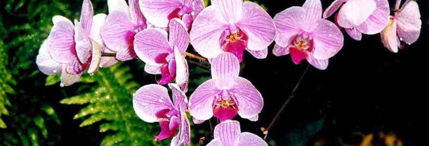 conseils pour bien entretenir vos orchid es. Black Bedroom Furniture Sets. Home Design Ideas